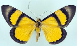 Image of <i>Celerena eucnemis</i> Felder 1875