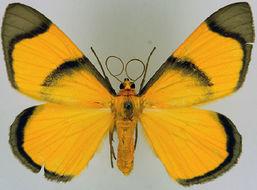 Image of <i>Celerena angustisignata</i> Prout 1917