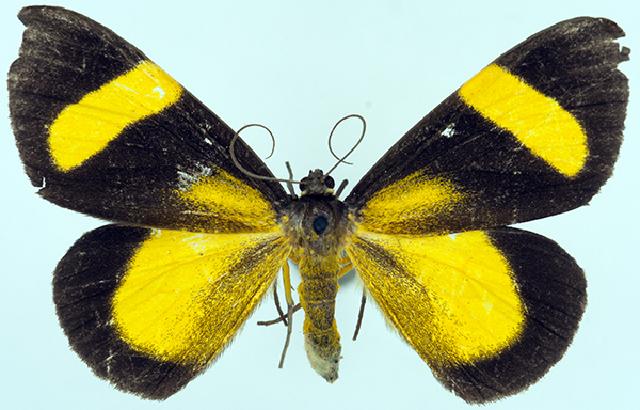 Image of <i>Celerena latiflava ab</i>