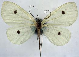 Image of <i>Derxena discata</i> Prout 1897