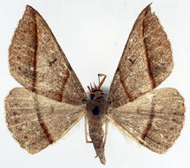 Image of <i>Encryphia pulverosa</i>