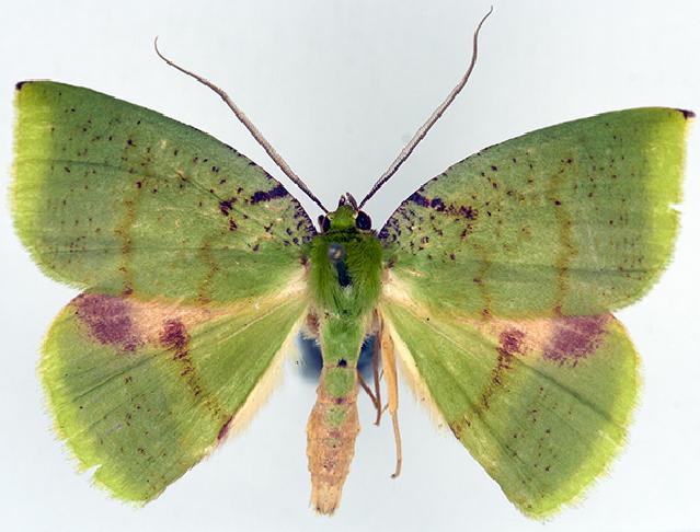 Image of Oenochlora