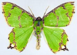 Image of <i>Agathia sinuifascia</i> Prout 1927