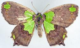 Image of <i>Agathia defecta</i> Prout 1913