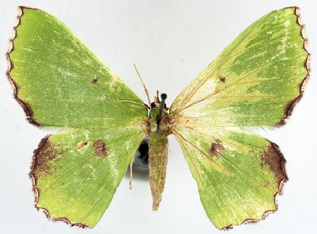 Image of Chrysochloroma
