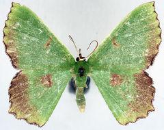Image of <i>Chrysochloroma subalbida ab</i>
