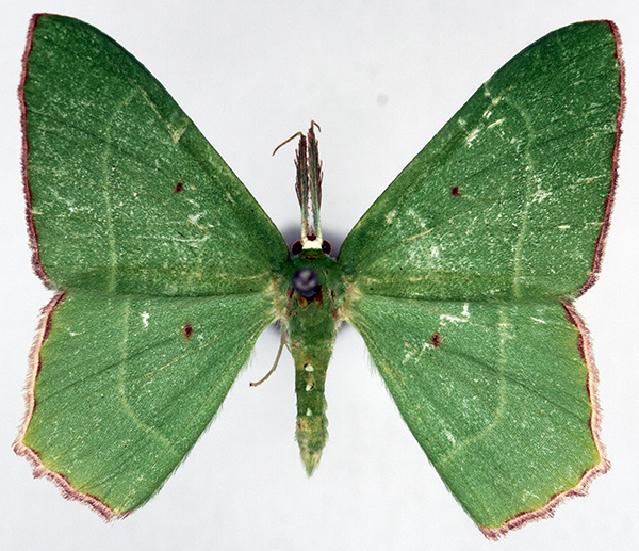 Image of <i>Chrysochloroma electrica herbida</i> Prout 1925