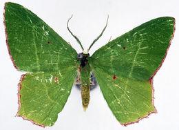 Image of <i>Chrysochloroma meeki</i> Warren 1896
