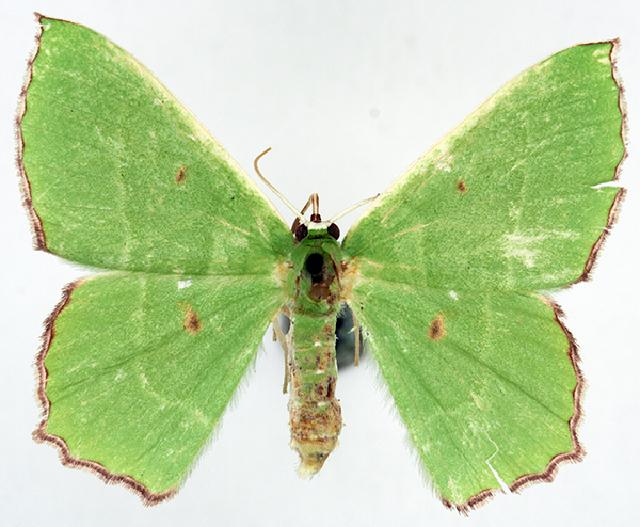 Image of <i>Chrysochloroma meeki malthaca</i> Prout 1916
