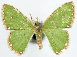 Image of <i>Argyrocosma consobrina</i>