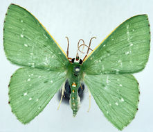 Image of <i>Prasinocyma punctifimbria</i> Warren 1904