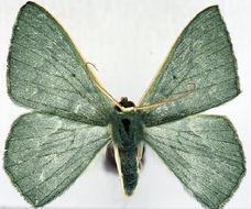 Image of <i>Prasinocyma fraterna</i> Warren 1907