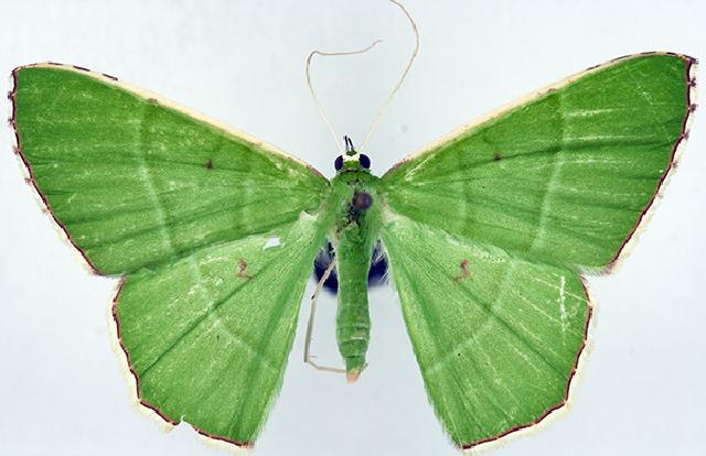 Image of <i>Ornithospila psittacina</i> Felder 1875