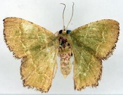 Image of <i>Hemithea iosoma</i> Meyrick 1889