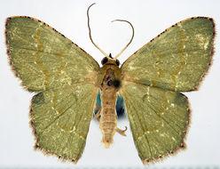 Image of <i>Hemithea vulcanensis</i> Prout 1933