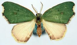 Image of <i>Dysdamartia quaesita</i> Prout 1913