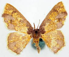 Image of <i>Chrysocraspeda lilacina</i> Warren 1903