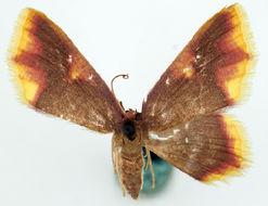 Image of <i>Chrysocraspeda ignita</i> Warren 1907