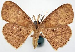 Image of <i>Cyclophora glomerata</i>