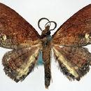 Image of <i>Lasioedma purpureorufa</i> Rothschild 1915