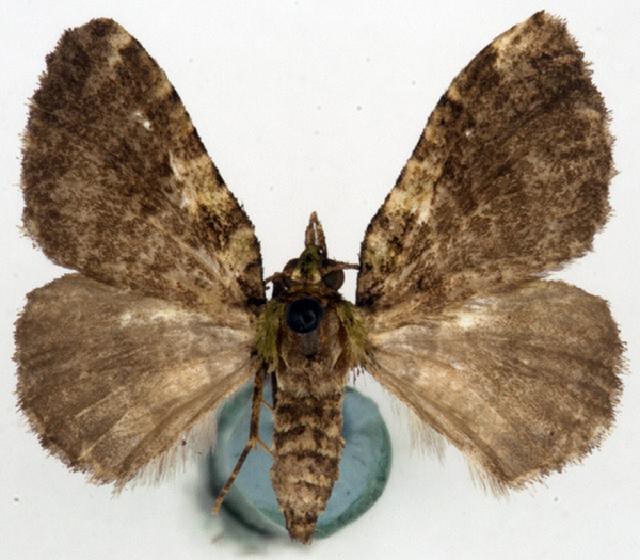 Image of <i>Spectrobasis plumosa</i> Warren 1907