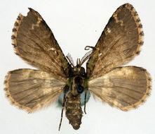 Image of <i>Spectrobasis maligna</i> Warren 1907
