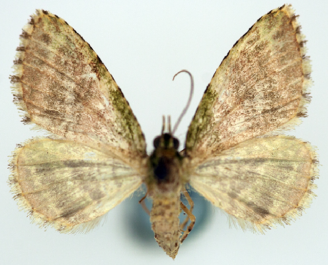 Image of <i>Spectrobasis viridis</i> Warren 1906