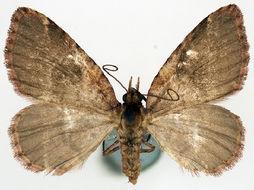 Image of <i>Spectrobasis rufa</i> Warren 1906