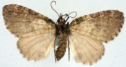 Image of <i>Spectrobasis impectinata</i> Prout 1916