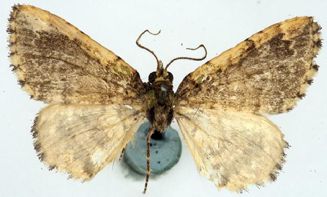 Image of Spectrobasis