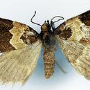 Image of <i>Desmoclystia rubecula</i> Warren 1906