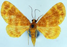 Image of <i>Pardodes flavimaculata absorbta</i>