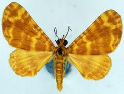 Image of <i>Pardodes flavimaculata woodlarkensis</i>