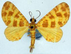 Image of <i>Pardodes flavimaculata</i> Warren 1896