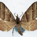 Image of <i>Propithex tristriata</i> Warren 1906