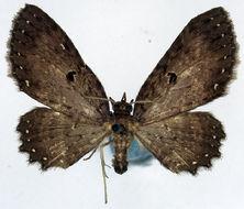 Image of <i>Collix suffusca</i> Warren 1907