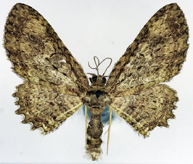 Image of <i>Collix hirtivena</i>