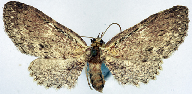 Image of <i>Collix angustipennis</i>