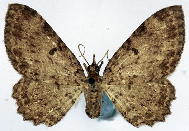 Image of <i>Collix ghosha dichobathra</i> Prout 1931