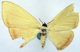 Image of <i>Antarchia subrubescens</i> Warren 1903