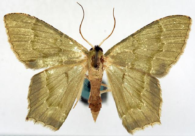 Image of <i>Hemithea subflavida reducta</i> Warren 1896