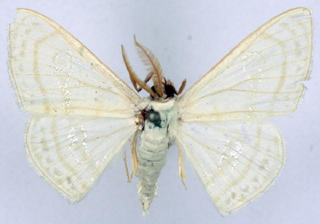 Image of <i>Problepsis apollinaria deparcata</i> Prout 1925