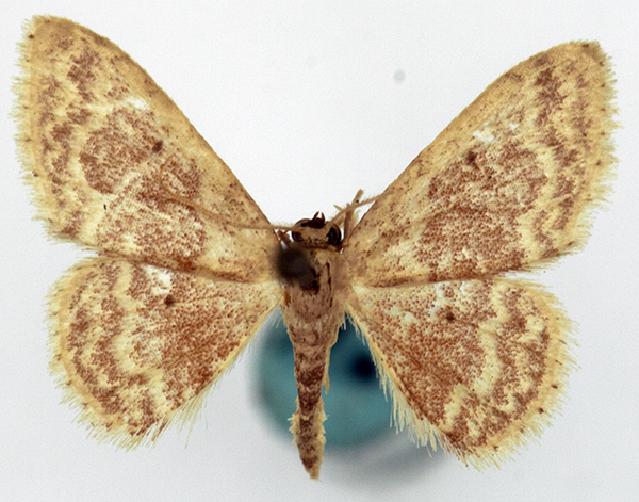 Image of <i>Idaea biagata</i>