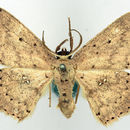 Image of <i>Pseuderythrolophus bipunctatus</i> Warren 1899