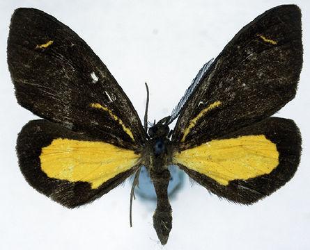 Image of <i>Ctimene radicata ab</i>