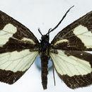 Image of <i>Ctimene albicolor</i> Warren 1898