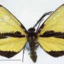 Image of <i>Ctimene basistriga</i> Walker 1864