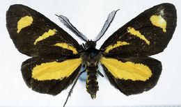 Image of <i>Ctimene radicata</i> Warren 1899