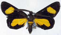 Image of <i>Ctimene flavannulata</i> Warren 1899