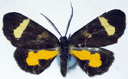 Image of <i>Ctimene hyaloplaga</i> Warren 1896